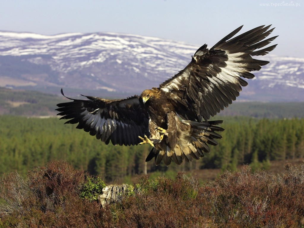 A golden eagle. Photo: Rus-img.com