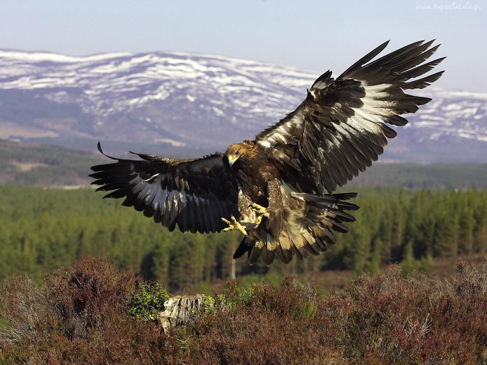 Kazakh Symbol Golden Eagle Is Critically Endangered