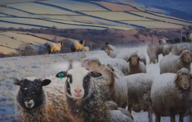 Kazakh Breeders Growing Giant Sheep
