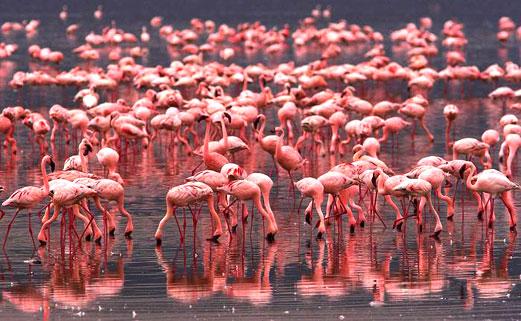 Flamingos Photo credit Vechernaya Astana
