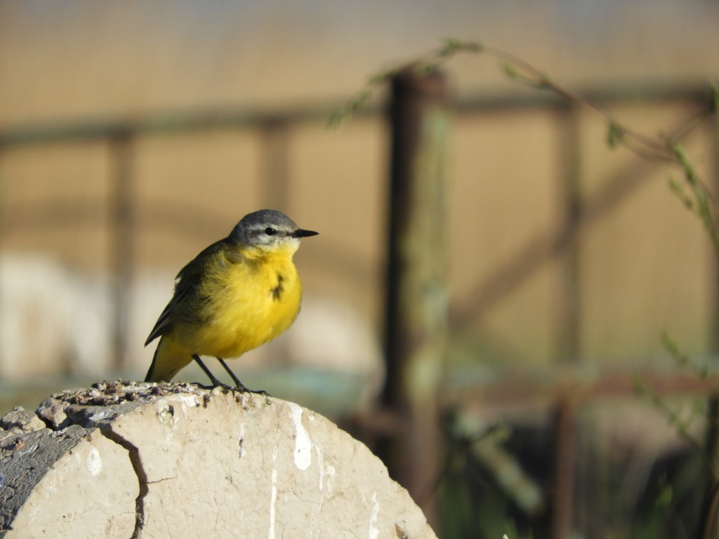 Blue-headed Wagtail. Photo credit: David Bradshaw.