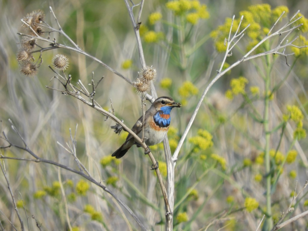 Bluethroat. Photo credit: David Bradshaw.