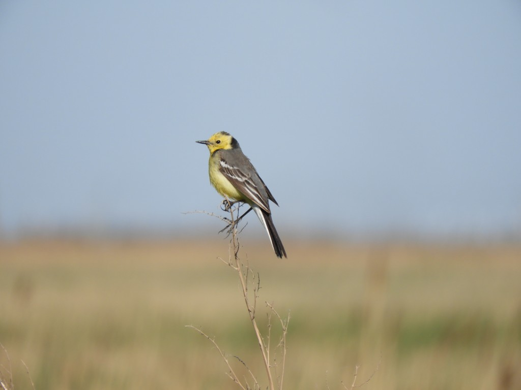 Citrine Wagtail. Photo credit: David Bradshaw.