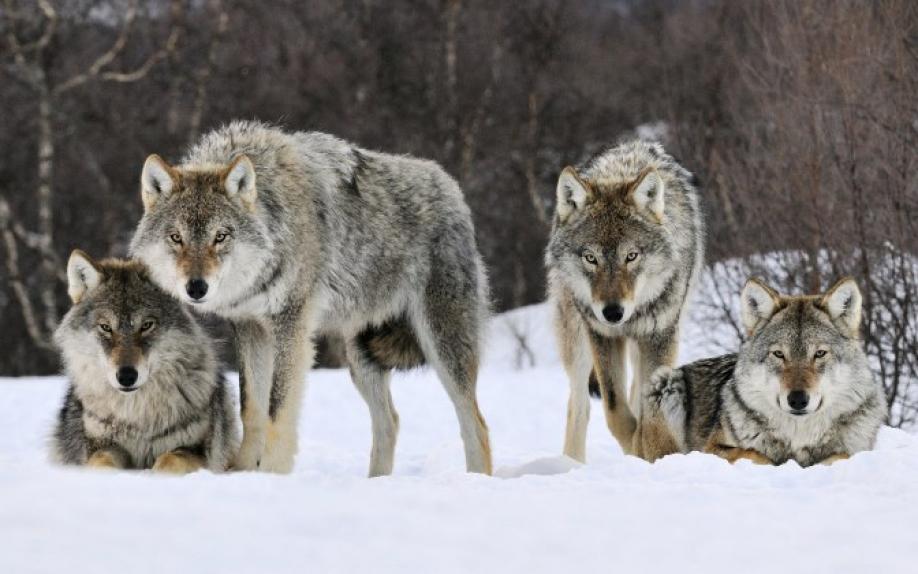 c665960135745dcb6bd8087372d66bf6 XL - Казахский национальный запреты Министерства ресурсов, охота на волков в пяти регионах